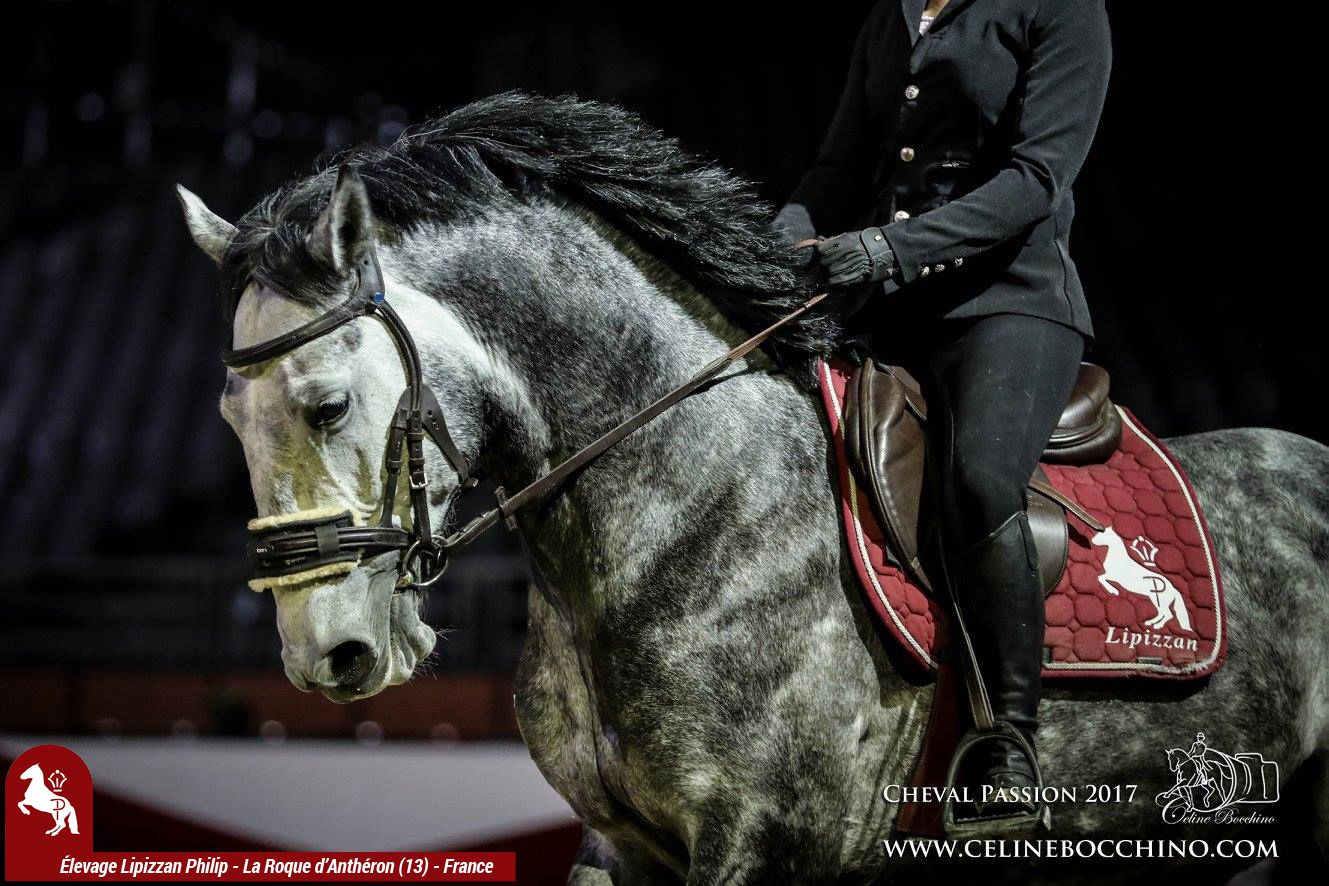 Elevage LIPIZZAN PHILIP Show Delevage Cheval Passion 2017 3