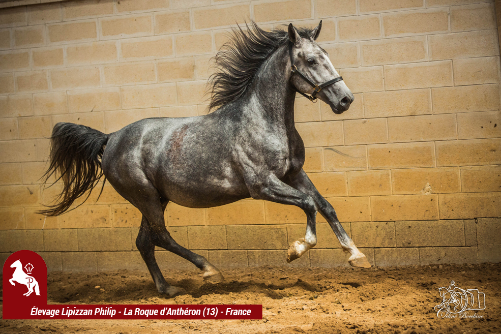Elevage LIPIZZAN PHILIP Caldo Favory Lisa13