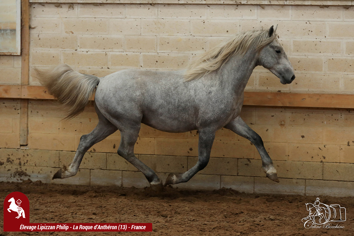 Elevage LIPIZZAN PHILIP Flash Maestoso Alda000