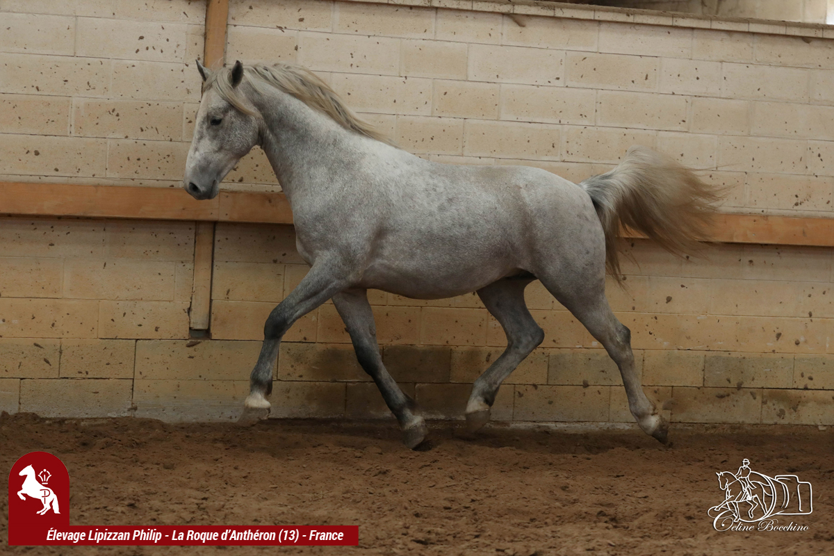 Elevage LIPIZZAN PHILIP Flash Maestoso Alda001