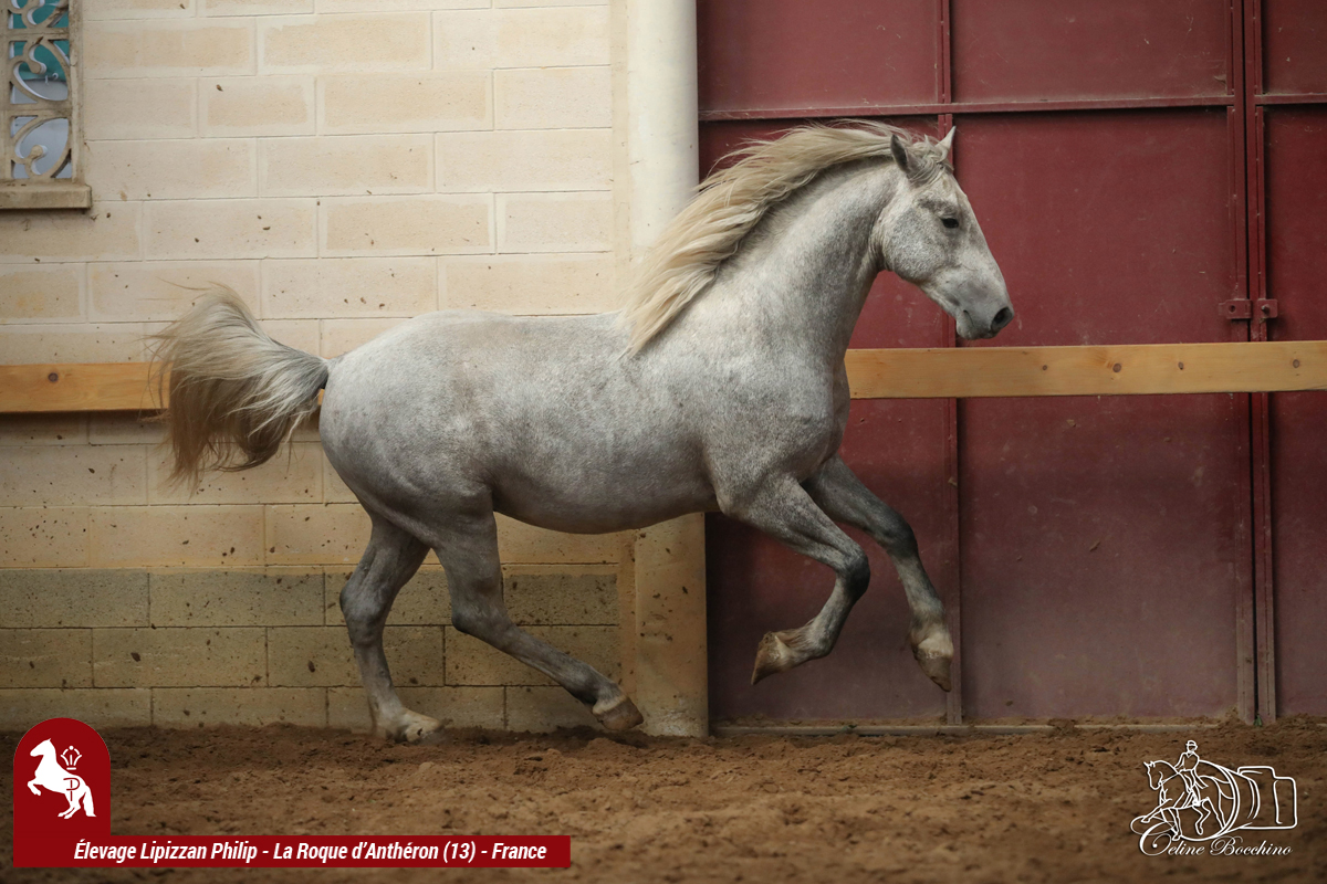 Elevage LIPIZZAN PHILIP Flash Maestoso Alda005