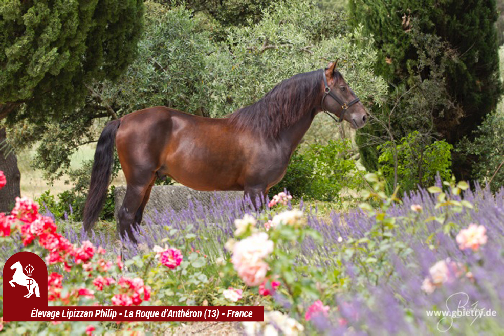 LIPIZZAN PHILIP Etalon Rubis Favory Kelly2