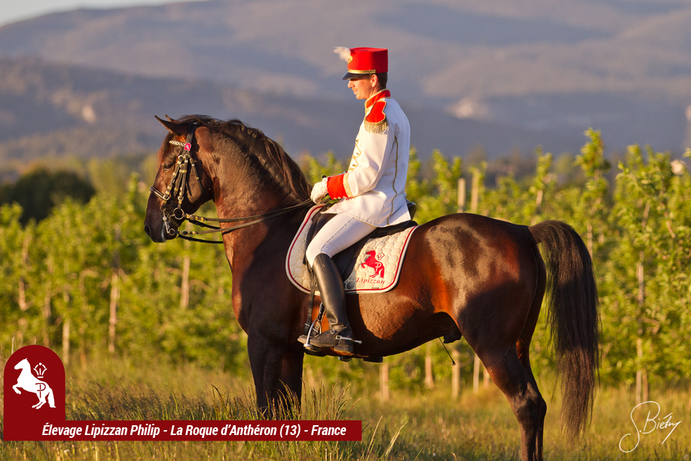 LIPIZZAN PHILIP Etalon Rubis Favory Kelly4