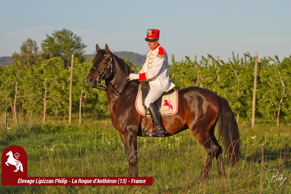 LIPIZZAN PHILIP Etalon Rubis Favory Kelly5