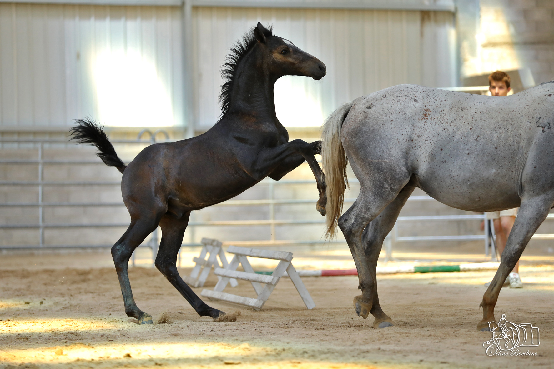 Elevage Philip Lipizzan Photojpo20