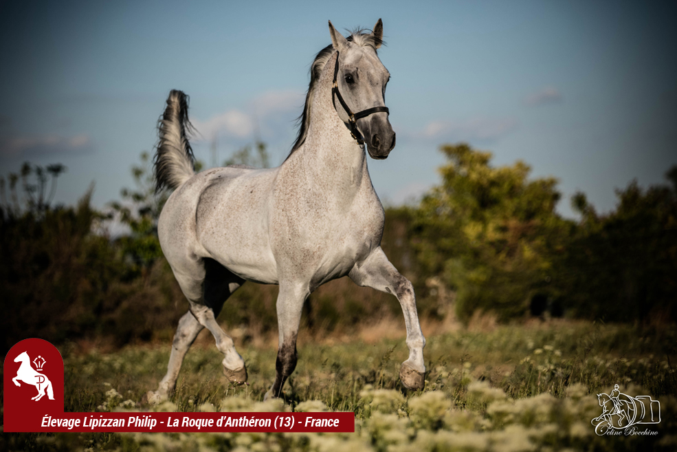 Elevage LIPIZZAN PHILIP Quasi Favory Graina 10