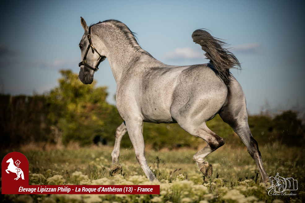 Elevage LIPIZZAN PHILIP Quasi Favory Graina 11