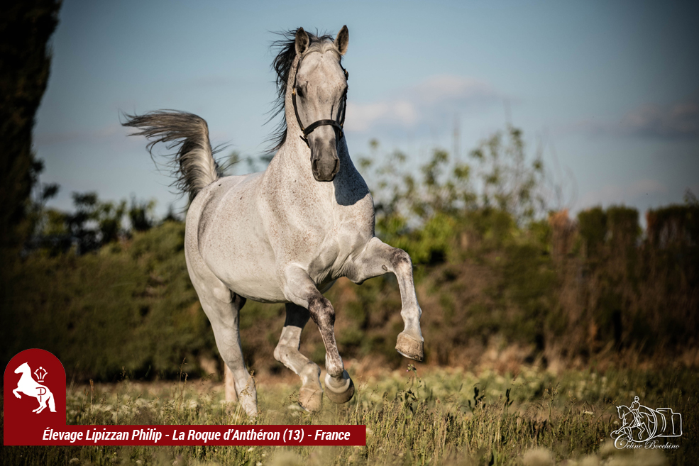 Elevage LIPIZZAN PHILIP Quasi Favory Graina 12