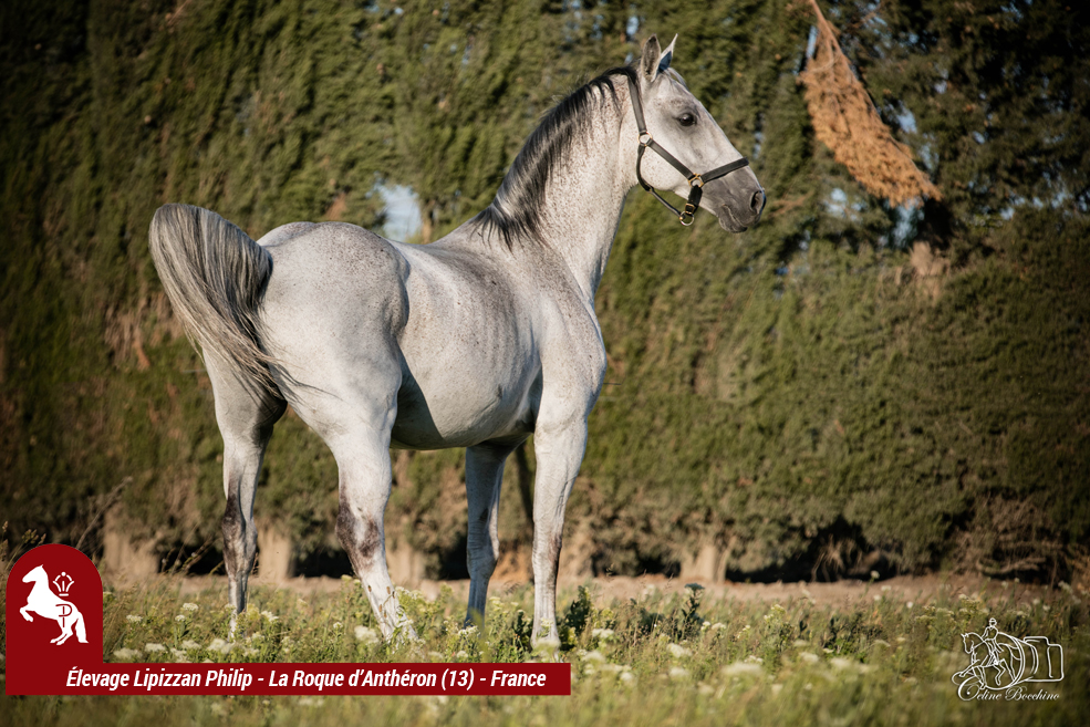 Elevage LIPIZZAN PHILIP Quasi Favory Graina 13