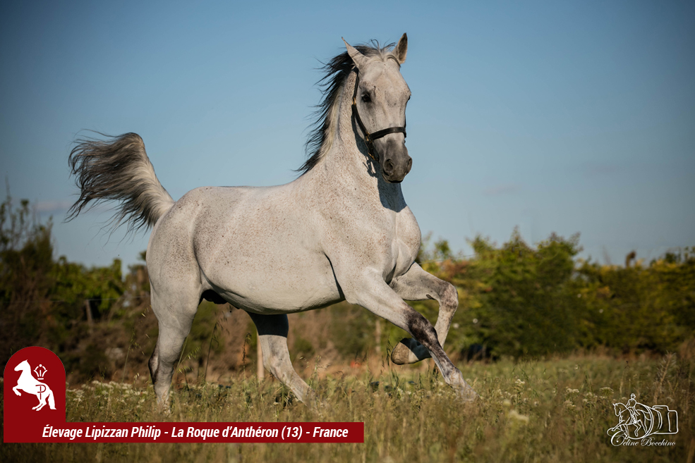 Elevage LIPIZZAN PHILIP Quasi Favory Graina 16
