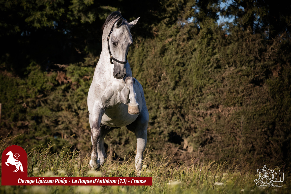 Elevage LIPIZZAN PHILIP Quasi Favory Graina 17