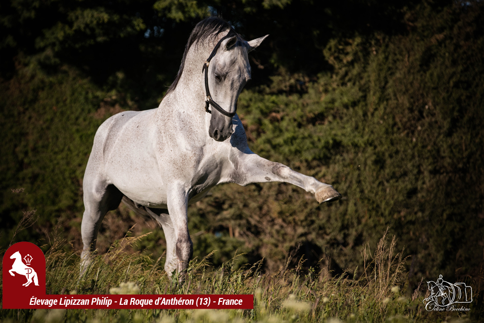 Elevage LIPIZZAN PHILIP Quasi Favory Graina 18