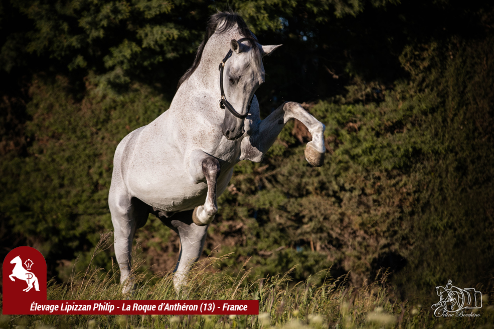 Elevage LIPIZZAN PHILIP Quasi Favory Graina 19
