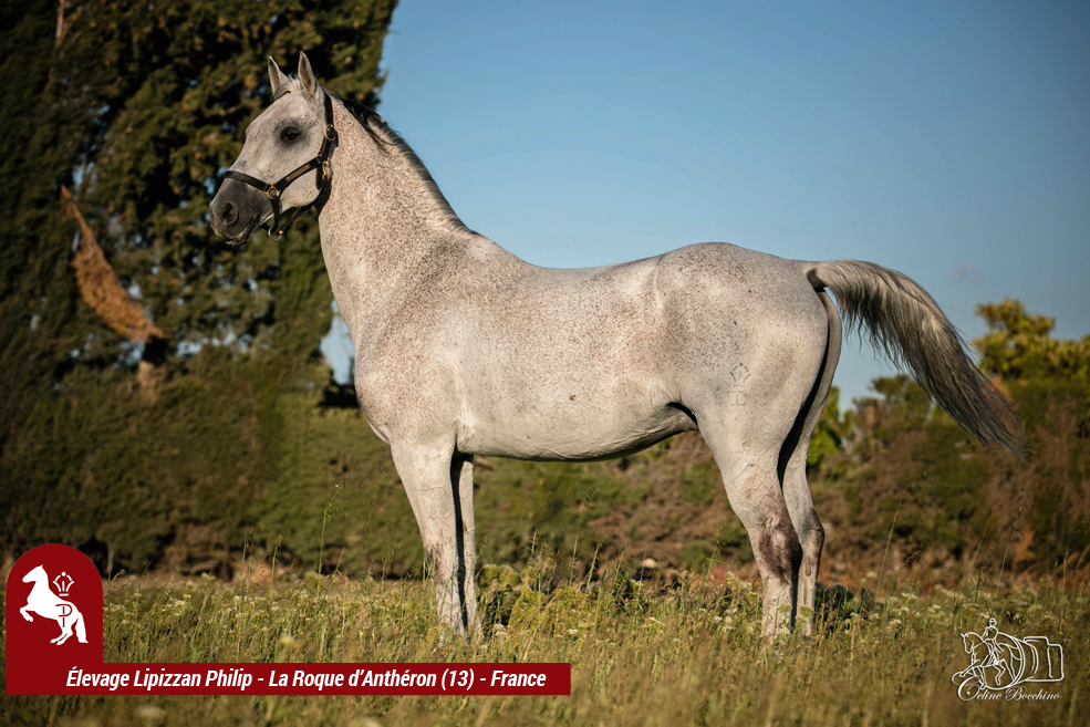 Elevage LIPIZZAN PHILIP Quasi Favory Graina 21