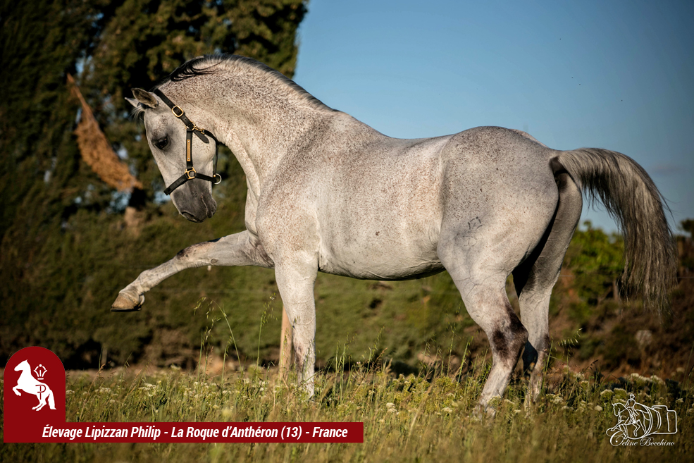 Elevage LIPIZZAN PHILIP Quasi Favory Graina 23