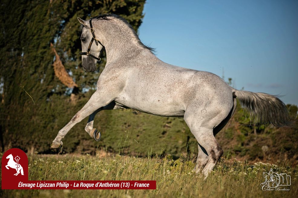 Elevage LIPIZZAN PHILIP Quasi Favory Graina 24