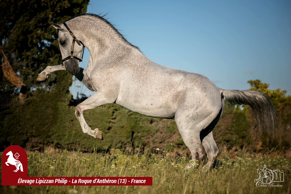 Elevage LIPIZZAN PHILIP Quasi Favory Graina 25