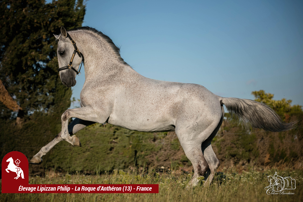 Elevage LIPIZZAN PHILIP Quasi Favory Graina 26