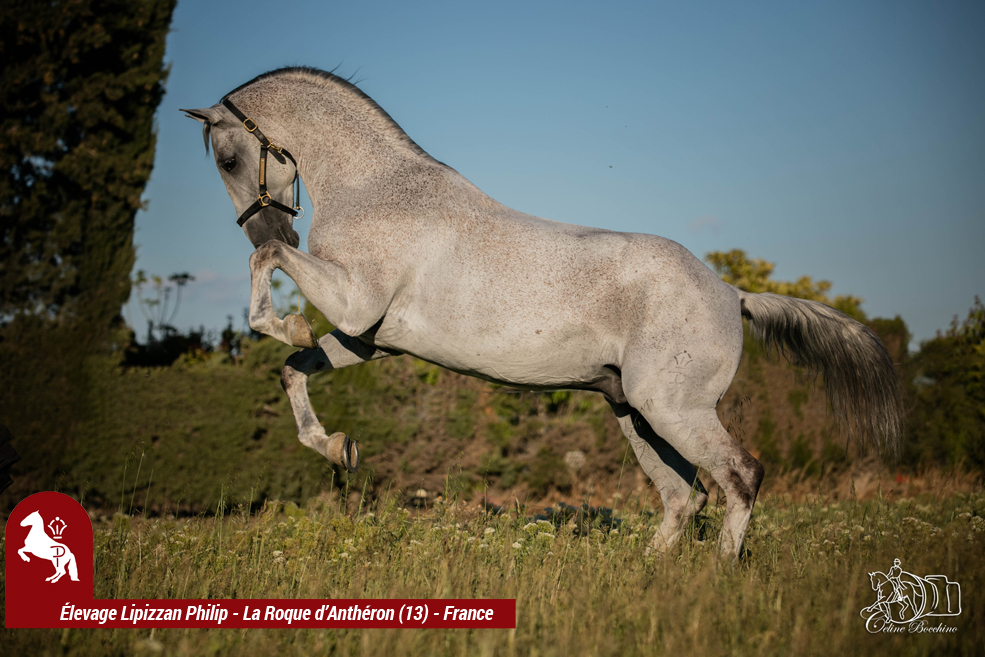 Elevage LIPIZZAN PHILIP Quasi Favory Graina 27