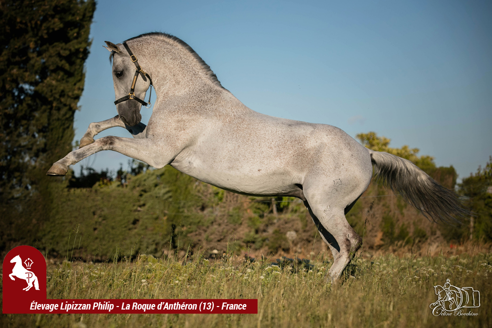 Elevage LIPIZZAN PHILIP Quasi Favory Graina 28