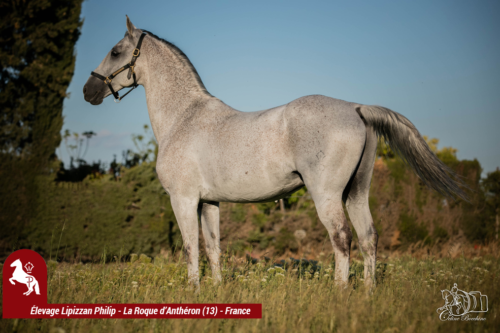 Elevage LIPIZZAN PHILIP Quasi Favory Graina 29