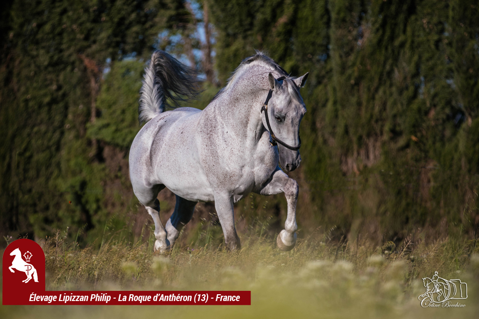Elevage LIPIZZAN PHILIP Quasi Favory Graina 7