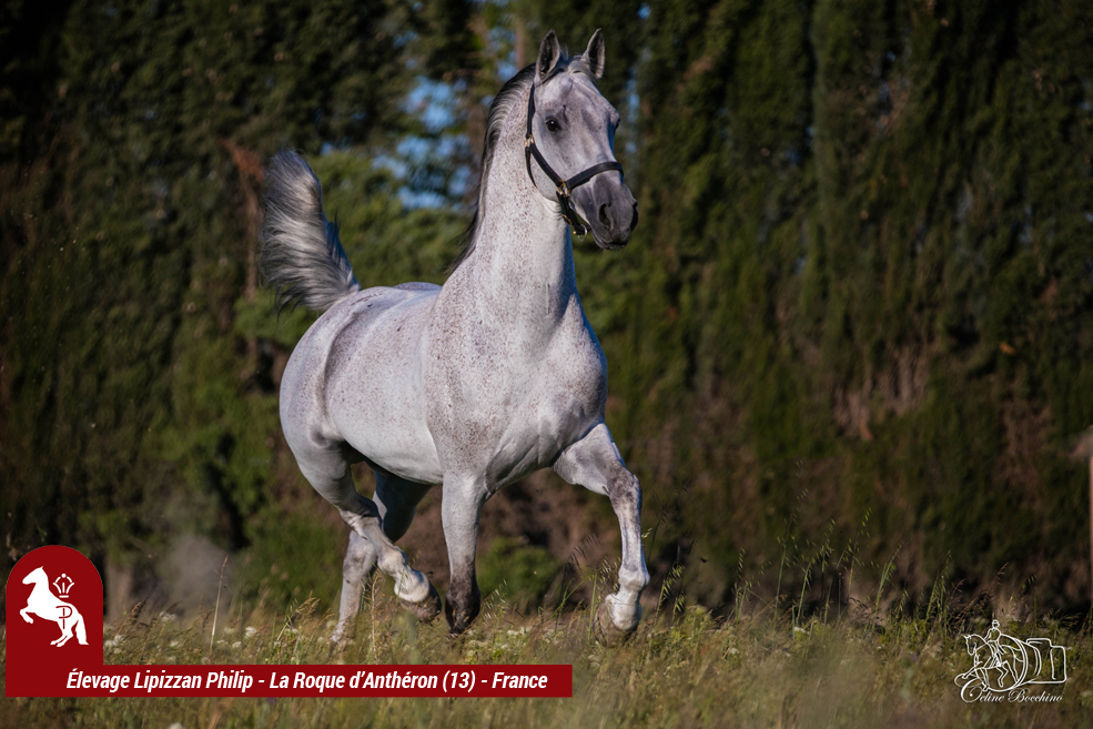 Elevage LIPIZZAN PHILIP Quasi Favory Graina 8