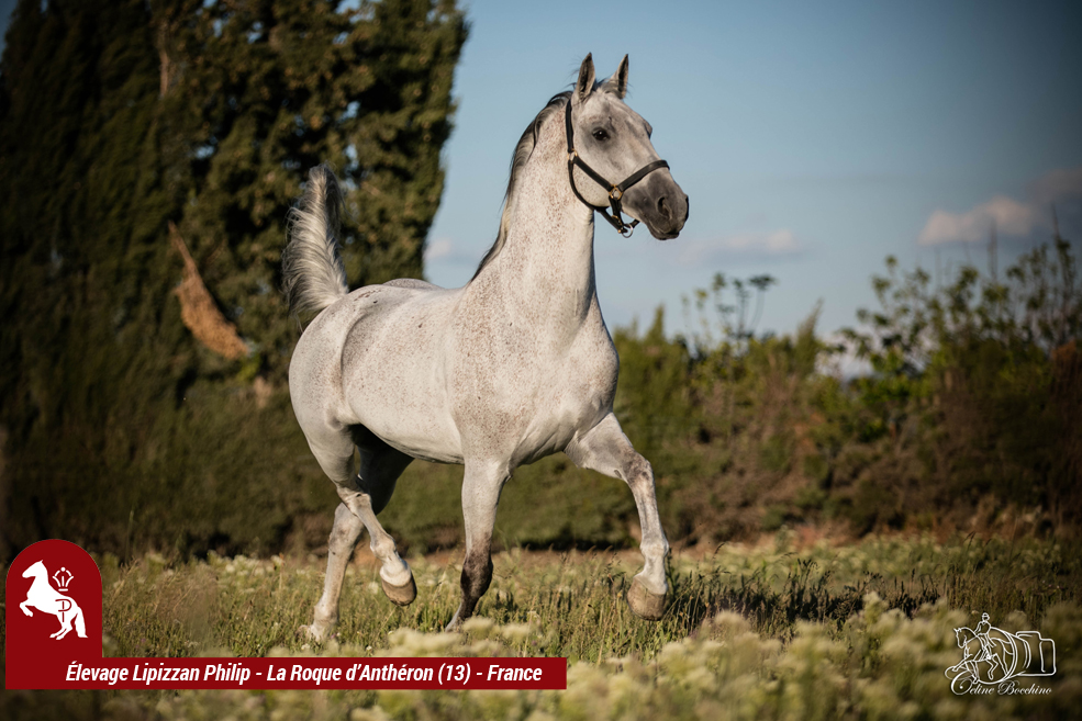 Elevage LIPIZZAN PHILIP Quasi Favory Graina 9